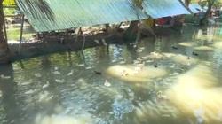 Đồng Tháp: Mô hình nuôi ếch kết hợp nuôi vịt an toàn cho cuộc sống ổn định