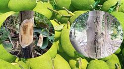 Cập nhật giá mít Thái hôm nay 20/6: Mít Thái nứt thân xì mủ vào mùa mưa, khắc phục bằng cách nào?