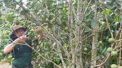 """Gia Lai: Cho cây mắc ca """"chung nhà"""" với cây cà phê, nông dân bất ngờ kiếm bộn tiền"""