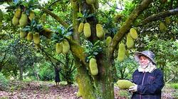 Bình Thuận: Ở nơi này một tiếng ve kêu 3 tỉnh đều nghe, nông dân trồng giống mít gì mà trái từ gốc tới ngọn?