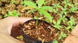 TP.HCM: Cả làng trồng mai vàng, nhà nào trồng nhà đó thành triệu phú