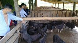 Hà Giang: Nuôi gà đen đặc sản, lợn bản địa, nông dân đổi vận, bản làng thêm hộ khá giàu