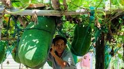 Bình Định: Nông dân làng này cứ cắt 1 trái bí đao bán là cầm ngay hàng trăm ngàn đồng