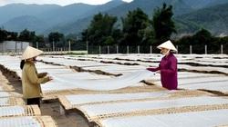 Bắc Kạn chú trọng phát triển miến dong trở thành sản phẩm nông sản chủ lực