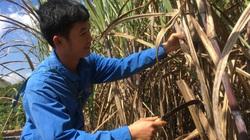 Sau quyết định dứt khoát của Bộ Công Thương với đường Thái Lan, sản lượng của loại cây này dự kiến tăng 20%