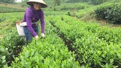 Liên kết trồng chè qua chi, tổ hội nghề nghiệp, nông dân Thái Nguyên yên tâm khâu tiêu thụ