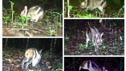 Thỏ vằn Trường Sơn nằm trong nhóm nguy cấp xuất hiện tại Vườn quốc gia Bidoup-Núi Bà