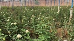 Đắk Nông: Trai làng bỏ việc lương cao ở Nhật Bản về quê trồng thứ hoa chi chít gai thu gần 1 tỷ mỗi năm