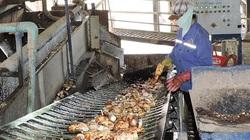 Trung Quốc mua lượng khổng lồ 1,3 triệu tấn, giá nông sản này của Việt Nam tăng nhưng nông dân đau đầu vì bệnh lạ