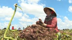Đồng Tháp: Cần cù suốt mùa vụ, nay người trồng khoai lang tím gần như mất trắng