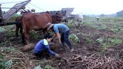 Tây Ninh: Covid-19 gây gián đoạn nguồn cung, giá sắn trong nước tăng cao