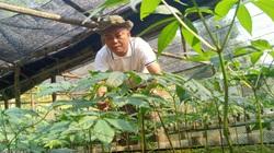 """Sơn La: Giám đốc """"gàn dở"""" leo lên núi trồng sâm Ngọc Linh, khi nghe tin vui ai cũng phục sát đất"""