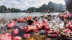 Kỳ ảo rạn san hô đỏ rực trên vịnh Hạ Long