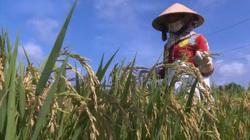 Xuống giống vượt kế hoạch, nông dân Cần Thơ kỳ vọng vụ lúa hè bội thu