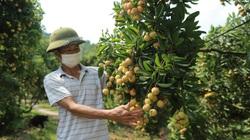 Tại sao Trung Quốc thiết lập 14 khu tập kết dành riêng cho vải thiều, nông sản Việt Nam?