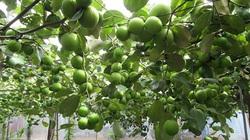 """Bình Thuận: Trồng thứ táo trái """"bò"""" trên giàn, ai đến xem cũng kêu lên """"sao ra nhiều trái thế"""""""