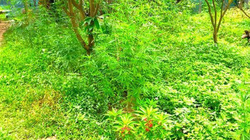 Người nước ngoài trồng cần sa trên mảnh đất 3.000m2 ở bãi giữa sông Hồng, xử lý thế nào?