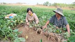 Chuyển từ trồng lúa sang ngô, mỗi năm thu về 300 triệu đồng