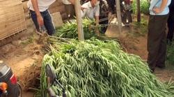 Lời khai của doanh nhân nước ngoài trồng cây cần sa ở bãi sông Hồng