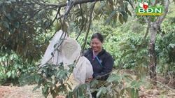 Đắk Nông: Trồng 90 cây sầu riêng ghép, hái hàng chục tấn trái, giá sầu riêng giảm vẫn lời 350 triệu