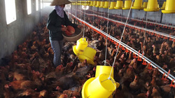 Hà Nội: Giá gia cầm tăng, thương lái chợ đầu mối nói lý do này khiến các chủ trại chăn nuôi gà, vịt...mừng
