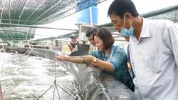 Sóc Trăng: Một doanh nghiệp nuôi tôm công nghệ cao bắt bán gần 2.000 tấn tôm trong 6 tháng đầu năm 2021