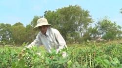 Quảng Trị: Lão nông trồng loại đậu đen thích ứng với đất bạc màu ven biển cho thu nhập đáng kể