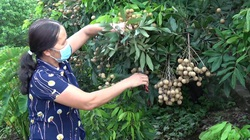 Nhãn đầu mùa được giá, nông dân Hưng Yên vui mừng phấn khởi