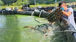 """Tây Ninh: Nuôi loài cá ví như """"nhân sâm nước"""" trong bể nổi khổng lồ, ông nông dân này bắt bán hàng tấn"""