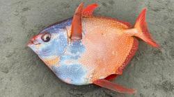 Hiếm: Cận cảnh chú cá mặt trăng dài hơn 1 mét và nặng gần 50 kg dạt vào bờ biển