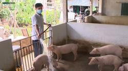 Giá thịt lợn giảm sâu, người chăn nuôi lợn đứng trước nguy cơ thua lỗ
