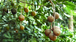 Thu nhập ổn định, lâu dài nhờ trồng cây mắc ca trên cao nguyên Mộc Châu