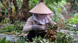 Bà Rịa-Vũng Tàu: 1.400 tấn nhãn xuồng cơm vàng treo trên cây chưa ai mua, nông dân lo mất trắng