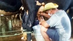 Vụ nông dân Sóc Trăng đổ bỏ sữa bò vì không bán được: Đã thu mua sữa bình thường