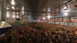 """Nông dân lo đi bán đất để có tiền nuôi """"báo cô"""" đàn gà thời giãn cách xã hội"""