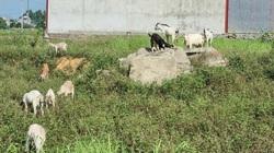 Ninh Bình: Chỉ nuôi 50 con dê lai thả đi lang thang ăn cỏ, ăn lá mà vẫn để dư được cả trăm triệu