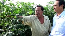 Miền Nam và Tây Nguyên: Trong làng chống dịch Covid-19, ngoài đồng chống dịch khảm lá mì, nông dân mệt bở hơi tai