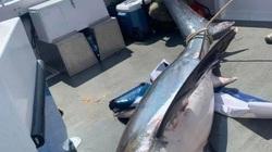 Lôi cá mập dài 4 m lên thuyền chụp ảnh, cần thủ bị chỉ trích nặng nề