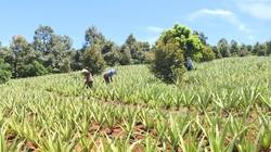 Lâm Đồng: Mô hình trồng cây nha đam trên vùng đất màu mỡ Di Linh