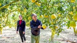 Tuyên Quang: Bưởi đặc sản cho nông dân Yên Sơn thu nhập khá