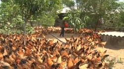 Quảng Trị: Mạnh dạn xin đất vùng đổi để nuôi gà, anh nông dân có sinh kế ổn định