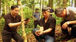 Quảng Nam: Di thực loại cây mỗi 1kg củ có giá 3 cây vàng về 5 huyện miền núi để trồng thử nghiệm