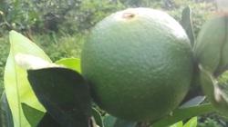 """Giống cam Mỹ lòng vàng, không hạt trồng ở tỉnh Hà Giang đã ra quả """"khổng lồ"""""""