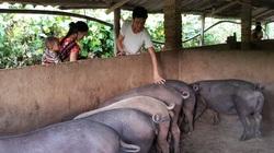 Lai Châu: Dịch tả lợn Châu Phi bùng phát trở lại