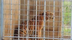 9 cá thể hổ còn sống ở Nghệ An dần quen với môi trường mới, mỗi con ăn 6kg thịt/ngày