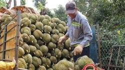Thông tin giá sầu riêng ở Đắk Lắk rớt thê thảm là không chính xác