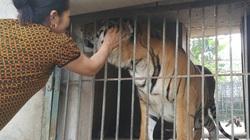 Cục Kiểm lâm chỉ đạo xử lý tình trạng nuôi hổ trái phép ở Nghệ An