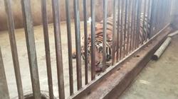 Chưa có kết quả giám định giống nòi của 17 cá thể hổ thu giữ ở Nghệ An