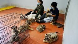 Quy trình chăm sóc đặc biệt 7 cá thể hổ nhỏ vừa được giải cứu