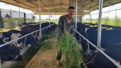 Quảng Nam: 30 năm theo nghề chăn nuôi, nông dân mới đổi đời nhờ giống bò siêu bự